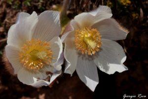 fiori-livignaschi-in-val-federia-x-sali